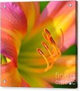Pink And Yellow Acrylic Print