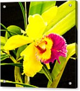 Pink And Yellow Orchid Flower  Acrylic Print