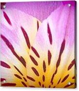 Pink And Yellow Peruvian Lily Acrylic Print
