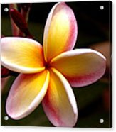 Pink And Yellow Plumeria Acrylic Print