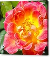 Pink And Yellow Rose Acrylic Print
