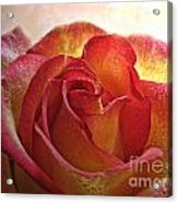 Pink And Yellow Rose With Water Drops Acrylic Print