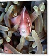 Pink Anemonefish And Tongue Parasite Acrylic Print