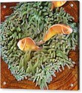 Pink Anemonefish Trio Papua New Guinea Acrylic Print