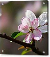 Pink Apple Blossom Acrylic Print