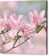 Pink Azalea Flowers In The Spring Acrylic Print