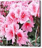 Pink Azalea In Bloom Acrylic Print by Halyna  Yarova