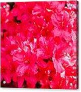 Pink Azalea's Acrylic Print