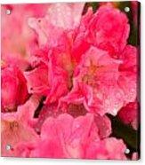 Pink Azalias Acrylic Print