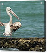 Pink-backed Pelican Looking Over Shoulder Acrylic Print