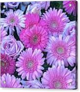 Pink Background Daisy And Roses Acrylic Print
