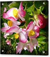 Pink Begonia Acrylic Print
