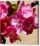 Bee Flying Pink Blossoms 031015a Acrylic Print