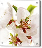 Pink Blossom Acrylic Print by Elena Elisseeva