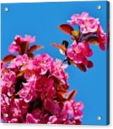 Pink Blossoms Blue Sky 031015a Acrylic Print