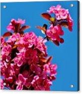 Pink Blossoms Blue Sky 031015aa Acrylic Print
