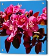 Pink Blossoms Closeup 031015ab Acrylic Print