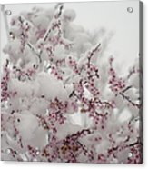 Pink Spring Blossoms In The Snow Acrylic Print