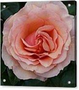 Pink Blush Rose I Acrylic Print