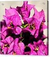 Pink Bougainvillea Classical Acrylic Print