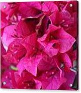 Pink Bougainvillea Acrylic Print