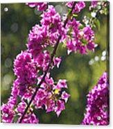 Pink Bougainvillea Sunshine Acrylic Print