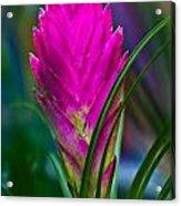 Pink Bromelaid Flower Acrylic Print