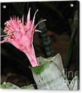 Pink Bromeliad Bloom Acrylic Print by Kaye Menner