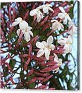 Pink Buds And Jasmine Blossom Close Up Acrylic Print