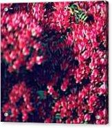 Pink Bumblebee Acrylic Print