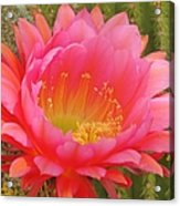 Pink Cactus Flower Of The Southwest Acrylic Print