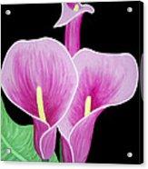 Pink Calla Lilies 1 Acrylic Print