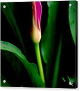 Pink Calla Lily Blossom Acrylic Print