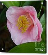 Pink Camellia About To Bloom Acrylic Print