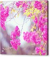 Pink Cascade Of Bougainvillea Acrylic Print