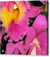 Pink Cattleya Orchid Acrylic Print
