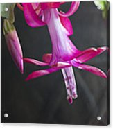 Pink Christmas Cactus Acrylic Print