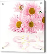 Pink Chrysanthemums Beautiful Acrylic Print