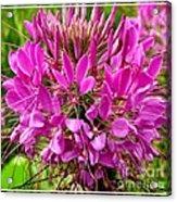 Pink Cleome Flower Acrylic Print