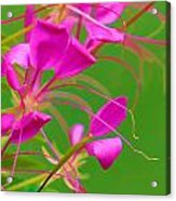 Pink Cleome Or Spider Flower  Acrylic Print by RM Vera