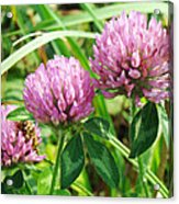 Pink Clover Wildflower - Trifolium Pratense Acrylic Print
