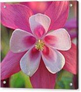 Pink Columbine Acrylic Print