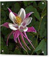 Pink Columbine Flower Acrylic Print