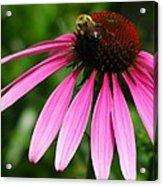 Pink Cone Flower Acrylic Print