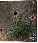 Pink Cone Flower's Close Up In A Road Acrylic Print