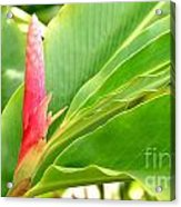 Pink Cone Ginger Bud Acrylic Print