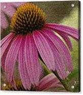 Pink Coneflower Acrylic Print