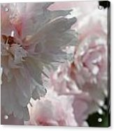 Pink Confection Acrylic Print
