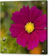 Pink Cosmos 3 Acrylic Print by Roger Snyder