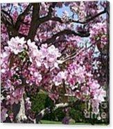 Pink Crabapple Acrylic Print